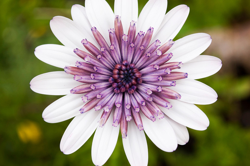 Osteospermum ecklonis '3D Silver Daisy' (African daisy)