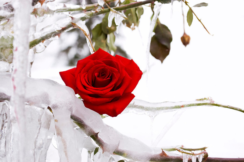 Rosa, red in icy bush (rose)