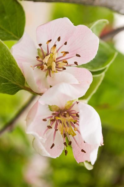Cydonia oblonga (quince blossoms)