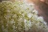Sorbaria sorbifolia (false spirea)