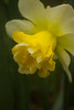 Narcissus 'Wave'