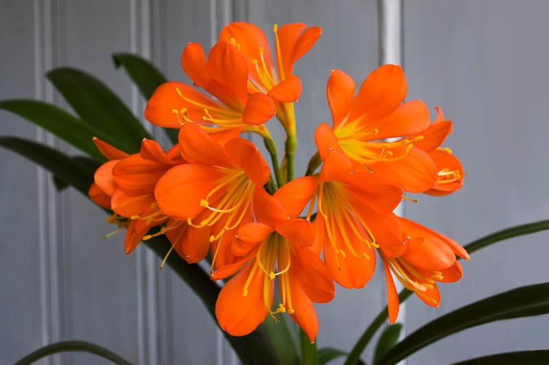Clivia miniata (fire lily)