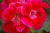 Pelargonium (annual geranium)