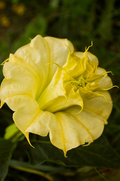 Datura, double yellow (angel's trumpet)