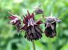 Aquilegia vulgaris 'Touchwood Tucks' (columbine)