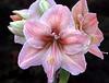 Hippeastrum 'Exotica' (amaryllis)