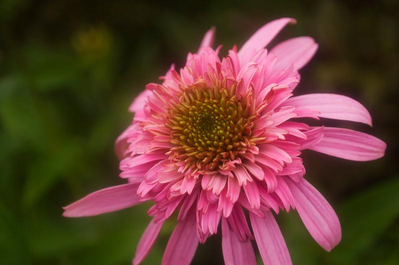 Echinacea 'Razzmatazz'