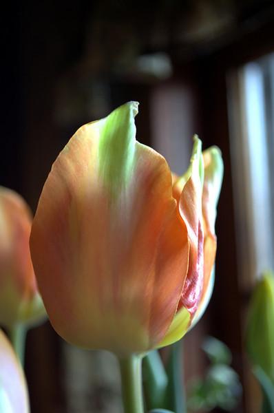 Tulipa 'Apricot Beauty' (tulip)