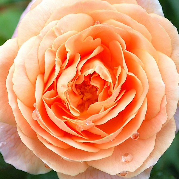 Rosa 'Polka'