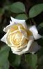 Rosa 'Ilse Krohn Superior'