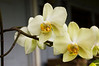 Phalaenopsis, yellow (moth orchid)