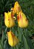 Tulipa 'Rembrandt' (Rembrandt tulip)