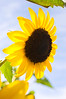 Helianthus, yellow (sunflower)