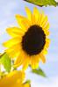 Helianthus, yellow (sunflower)