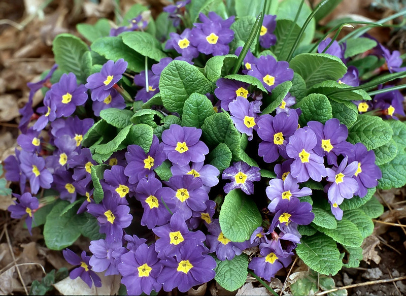Primula, purple (primrose)