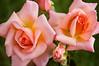 """Rosa """"Compassion'"""