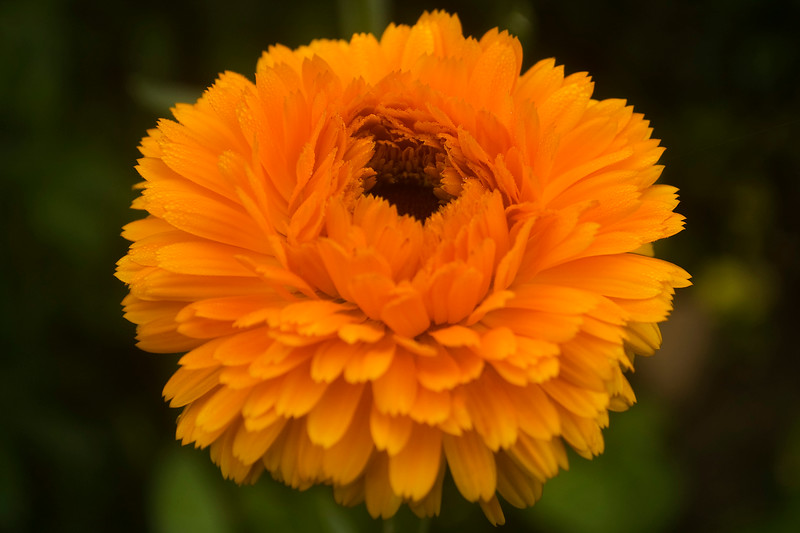 Calendula officinalis 'Geisha Girl'