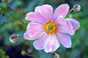 Anemone japonica 'Margarete' (Japanese anemone)