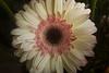 gerbera (florist type)