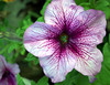 Petunia grandiflora 'Prism Pale Burgundy Vein'