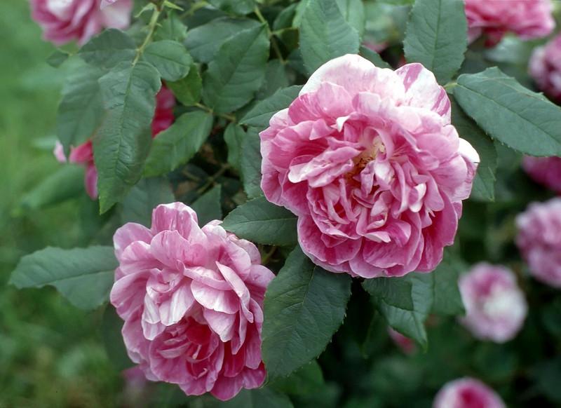Rosa 'Belle Doria'