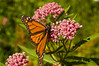 Asclepias incarnata 'Soulmate' (swamp milkweed) with monarch butterfly