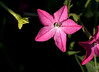 Nicotiana x sanderae 'Cranberry Island' (flowering tobacco)
