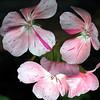 pelargonium 'Speckles'