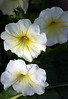 "Petunia grandiflora ""Prism Sunshine"""