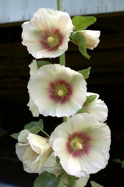 Alcea rosea 'Donkerhart,' cream (hollyhock)