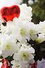 Valentine's Day white azalea