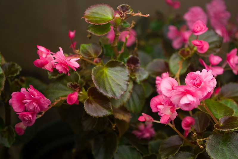 Begonia semperflorens (double wax begonia)