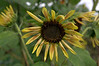 Helianthus 'Sparky '(sunflower)