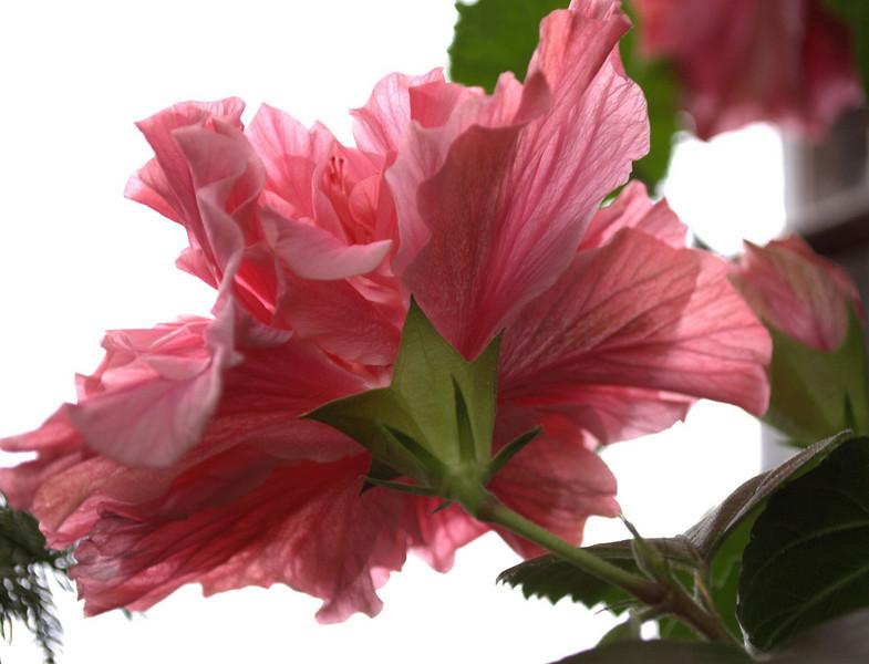 Hibiscus rosa-sinensis 'Kona' back (tropical hibiscus)
