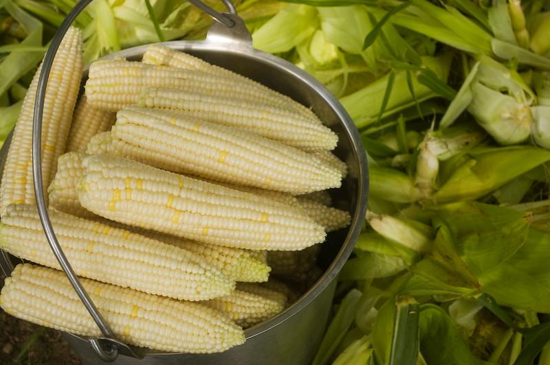 """Zea mays """"Silver Queen' (sweet corn)"""