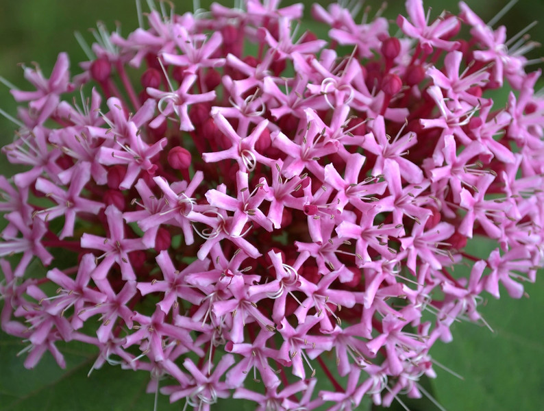 Clerodendrum bungei (rose glory bower)