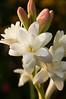 Polianthes tuberosa 'The Pearl' (double tuberose)