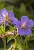 Geranium pratense (hardy geranium)