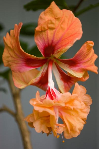 Hibiscus rosa-sinensis 'El Capitolo' (yellow poodle hibiscus)