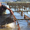 4130: Harvesting oyster from the oysterbeds in the Knysna lagoon.
