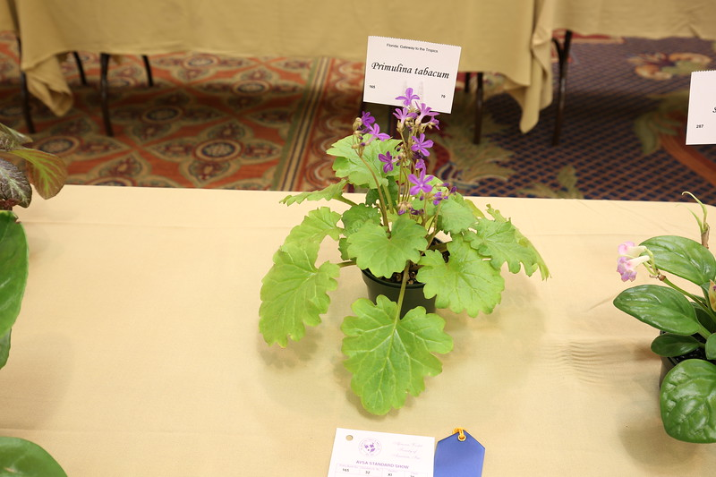 Primulina tabacum