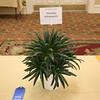 Primulina ophiopogoides