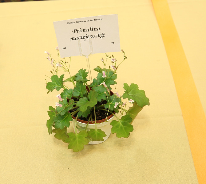 Primulina maciejewskii