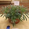 Primulina linearifolia
