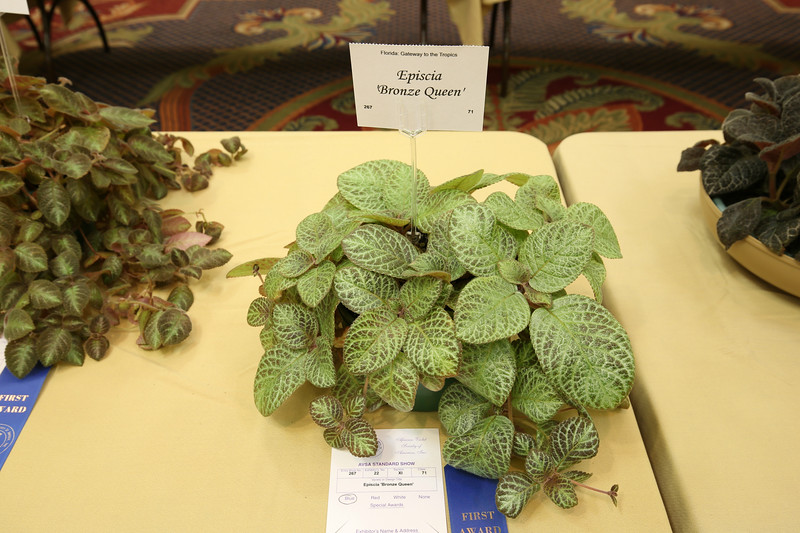 "Episcia ""Bronze Queen"""