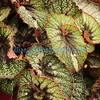 Begonia 'Rocheart'