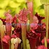 Sarracenia hybrid C.V. Juthatip Soper pitcher plant