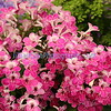 Pink streptocarpus in the African violet family of Gesneriads