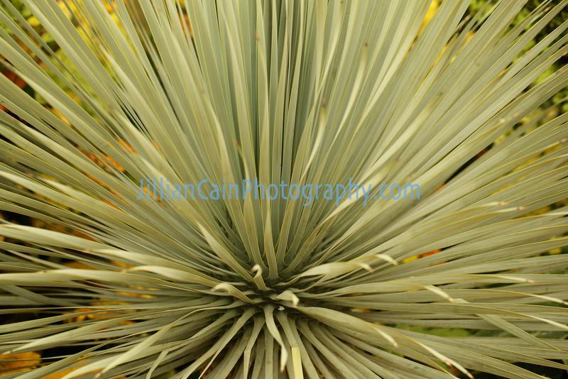 Yucca rostrata 'Blue Velvet'
