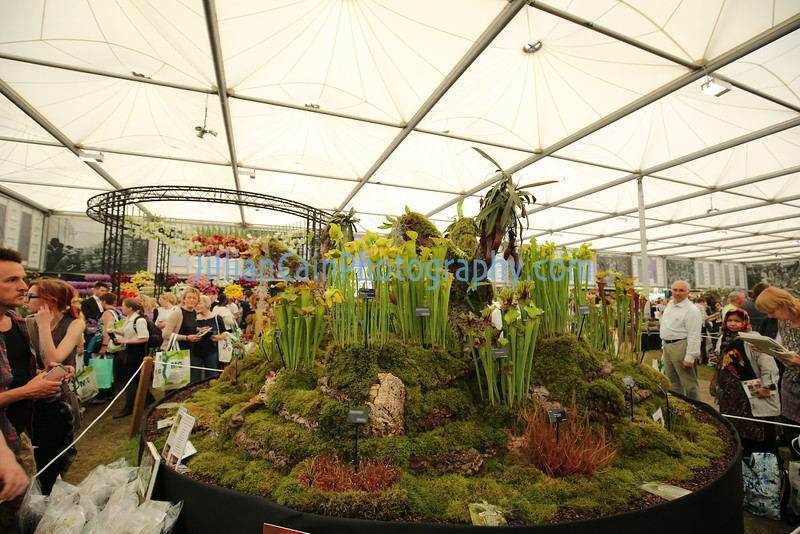 Pitcher (carnivorous)  plant display
